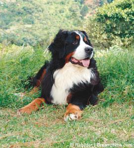 Schweizer Sennenhunde Berner Sennenhund Appenzeller